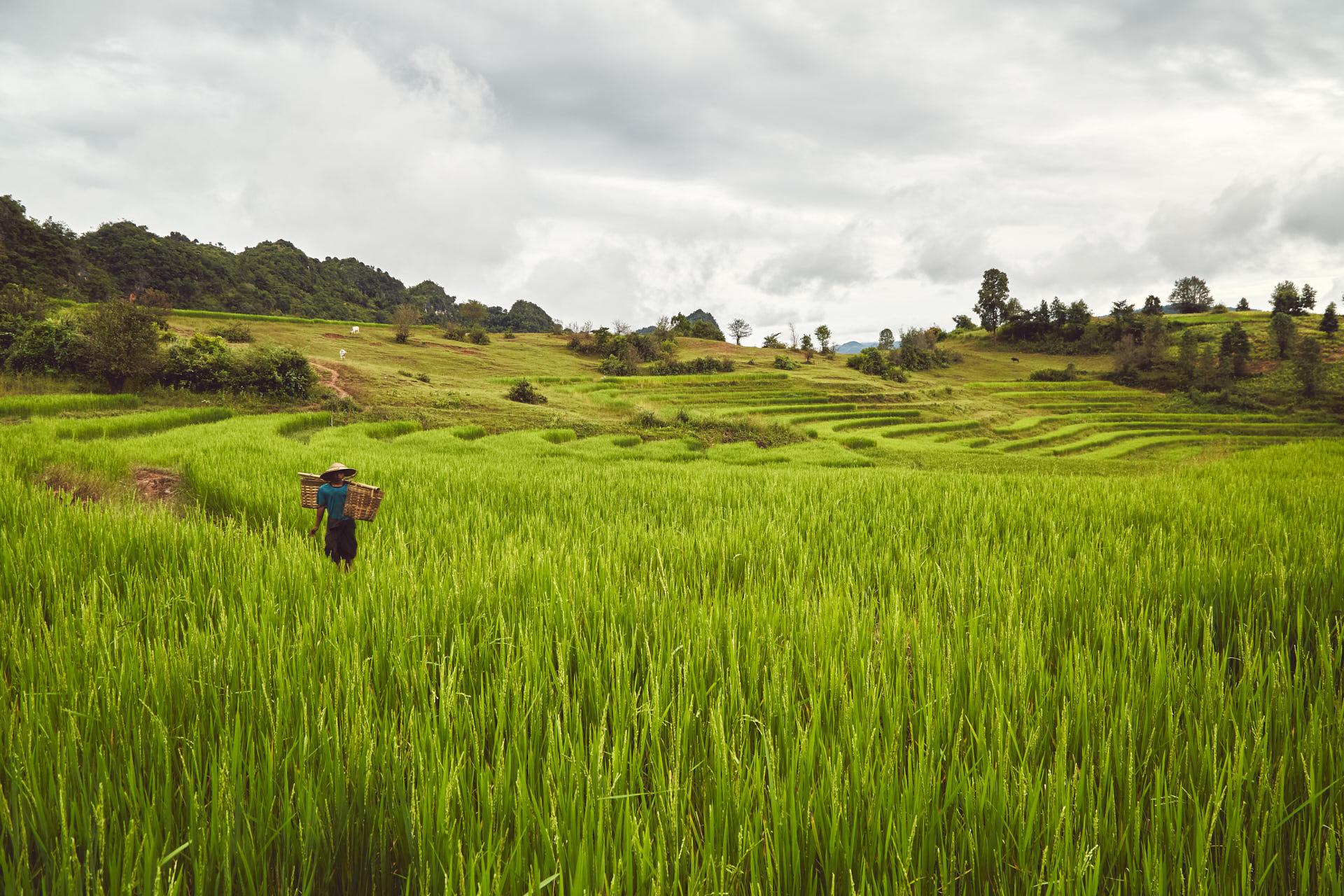Un homme dans une rizière