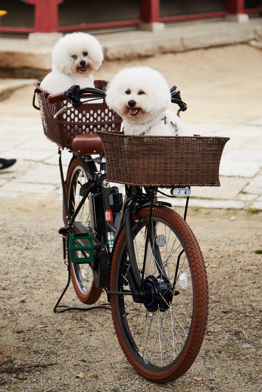 Des caniches sur un vélo