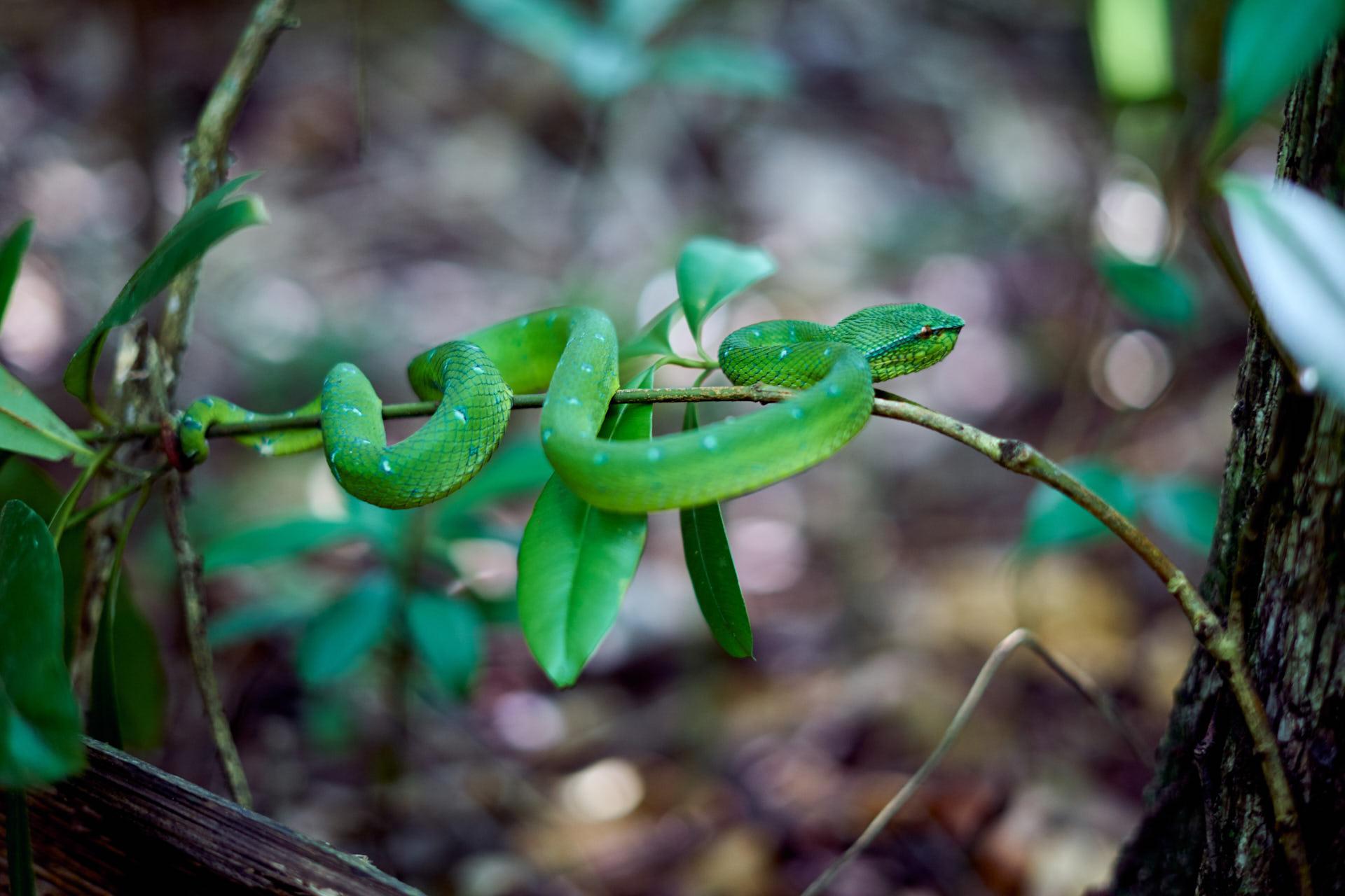 Une vipère verte sur une branche