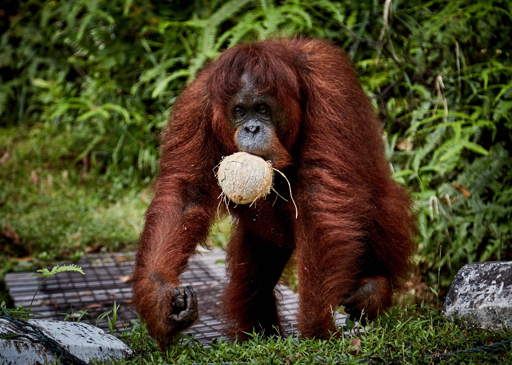 Un Orang outan mange.