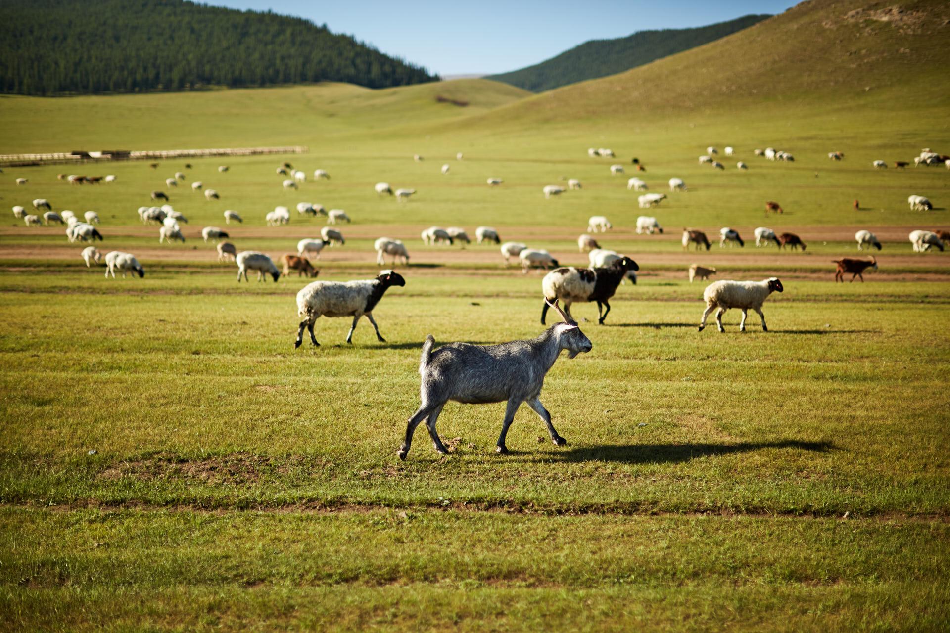 Un troupeau de chèvre en mongolie