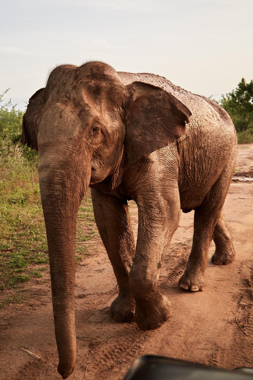 Un éléphant plein de boue