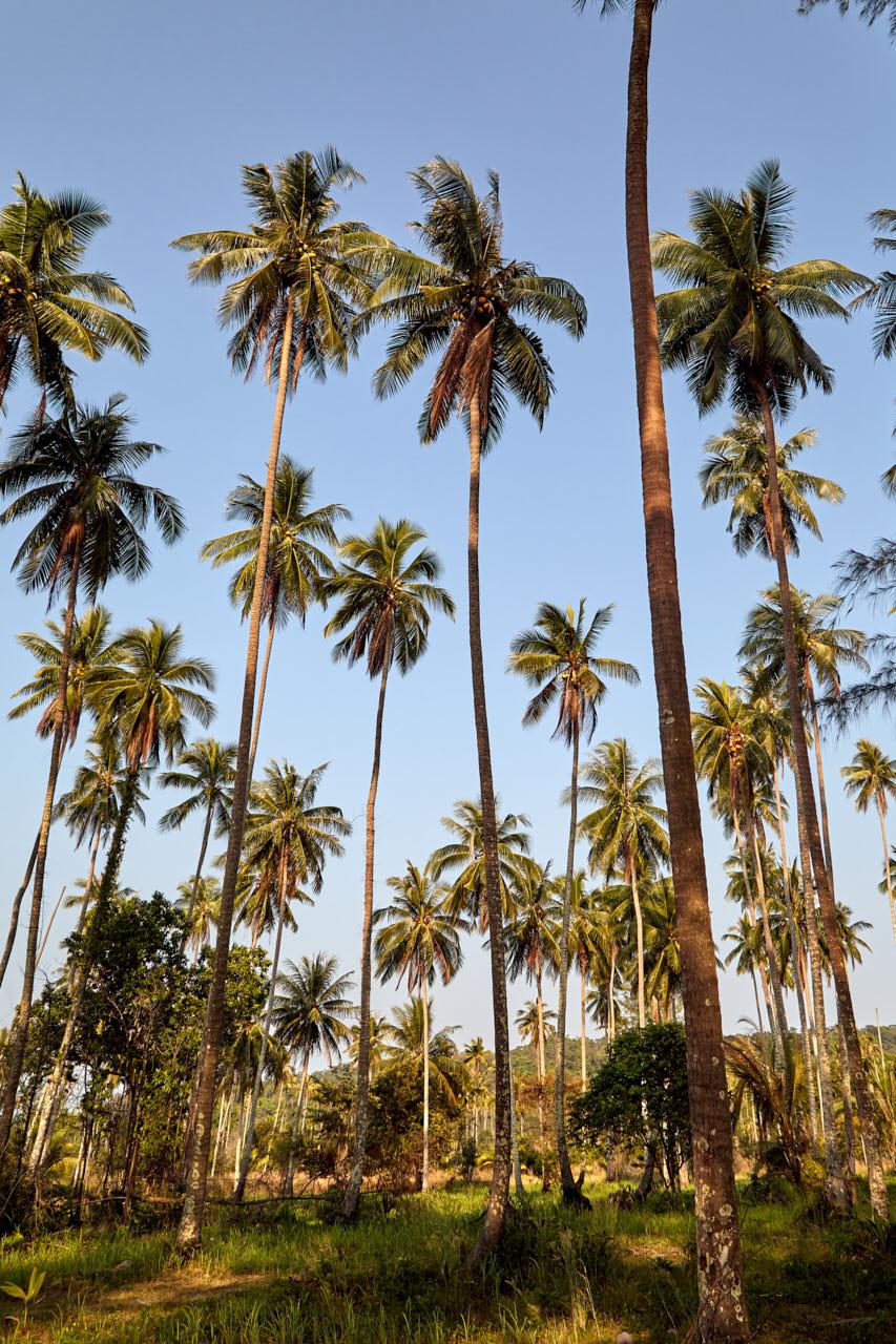 Champs de cocotiers