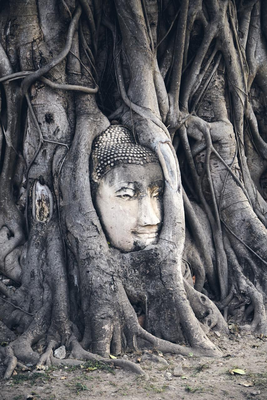 Tête de Buddha dans un arbre