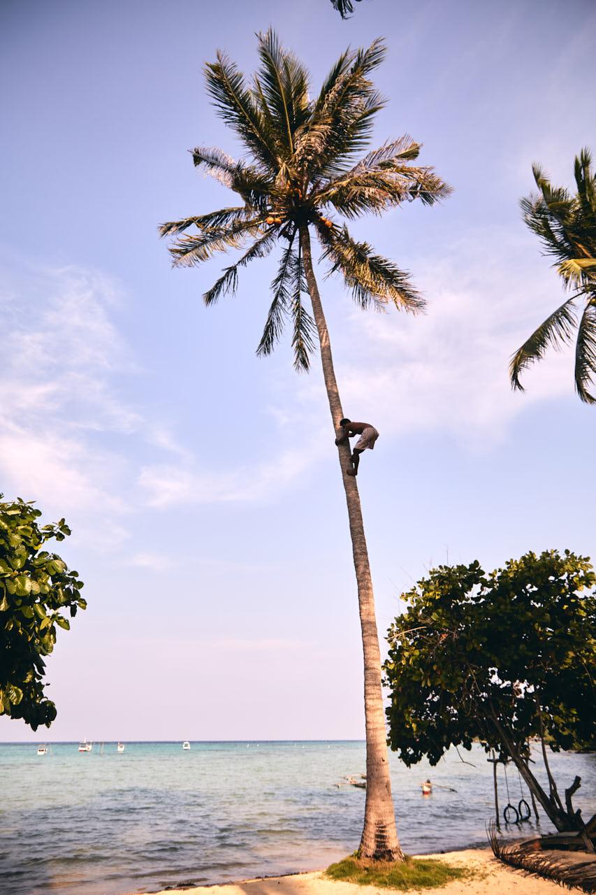 Grimpeur de cocotier